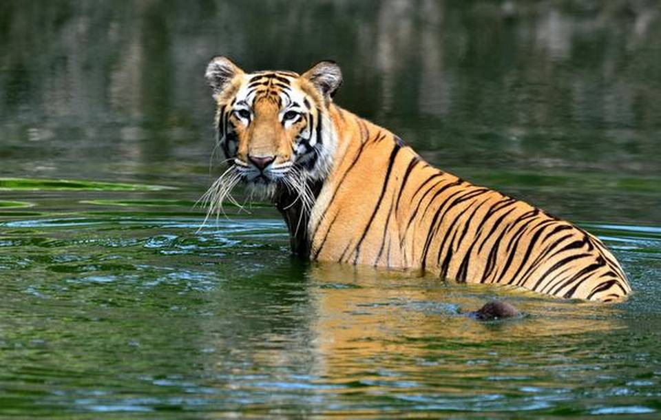 """""""Special Tiger Force"""" for Corbett Reserve to be set up Uttarakhand_50.1"""