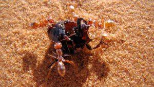 "World fastest ant ""Saharan silver ant"" found in northern Sahara_50.1"
