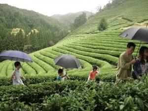 Darjeeling's green and white teas get GI tag_50.1