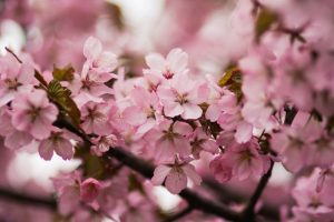 International cherry blossom festival 2019 celebrated in Shillong, Meghalaya_50.1
