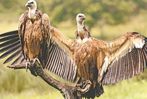 State's 1st Vulture Conservation to set up UP Government_50.1