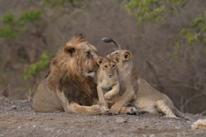 India records 29% increase in Asiatic Lion population_50.1