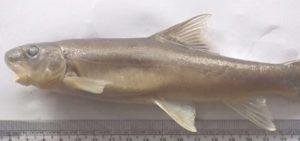 New fish species discovered in Arunachal Pradesh_50.1